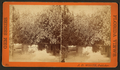 Col. Hart's grove, Palatka, Fla, from Robert N. Dennis collection of stereoscopic views 2.png