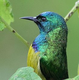 Collared Sunbird (Hedydipna collaris).jpg