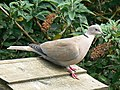 Collared dove on a birdtable, Swindon - geograph.org.uk - 399338.jpg