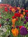 Colourful tulips in Millennium Park (47879866941).jpg