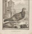Columba domestica var. turcica - 1700-1880 - Print - Iconographia Zoologica - Special Collections University of Amsterdam - UBA01 IZ18900135.tif
