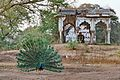 Combination of Indian National Bird and Dilapidated Heritage Monument.jpg
