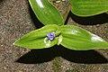 Commelinaceae sp 1815.jpg