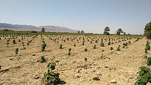 Alireza Nasiri - Commercial forest planted in Janat Shahr by Aras GED.