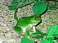 Common Green Tree Frog - Flickr - GregTheBusker.jpg