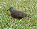 Common Ground Dove. Columbina passerina (1) - Flickr - gailhampshire.jpg