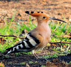 Common Hoopoe Photograph By Shantanu Kuveskar.jpg