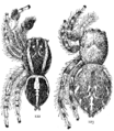 Common Spiders U.S. 122-3.png