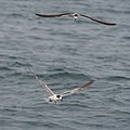Common Tern juvenile with Bridled Tern (21365290934).jpg