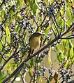 Common Yellowthroat Geothlypis trichas.jpg