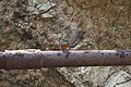 Common kingfisher (3).jpg