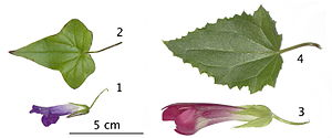 Lophospermum - Image: Comparison of Lophospermum with Maurandya
