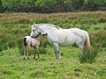 Connemara - Connemara National Park, Connemara Ponies.jpg