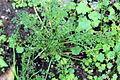 Conservatoire botanique national de Brest-Apium-fernandezianum-15 07 01-ClaudePERON (20032309380).jpg