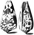 Conus-striatus-001.jpg