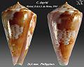 Conus dayriti 3.jpg