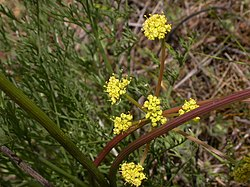 Cook's desert parsley.jpg