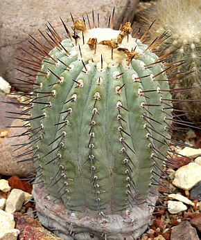 Description de l'image Copiapoa cinerea 1.jpg.