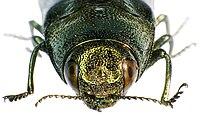 Coraebus florentinus front.jpg