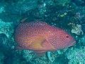 Coral grouper (Cephalopholis miniata) (48279160926).jpg