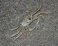 Core Banks - Ghost Crab - 04.JPG