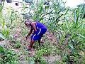 Corn farmer.jpg