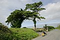 Cornwall-04-Baum-Dreirad-2004-gje.jpg