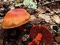 Cortinarius sanguineus (38313906482).jpg