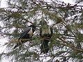 Corvus albus 0010.jpg