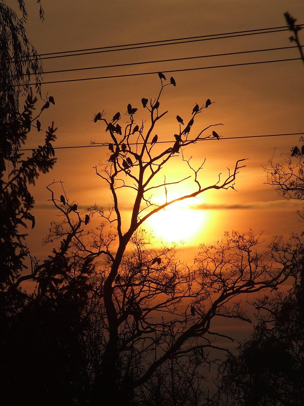 Corvus frugilegus sundown