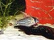 Corydoras schwartzi.jpg