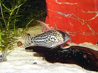 Schwartzs catfish species of catfish