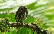 Costa Rican Pygmy-owl (Glaucidium costaricanum) on branch.jpg