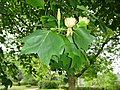 Cotehele Upper Garden Tulip Tree - geograph.org.uk - 1389581.jpg