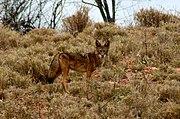 Coyote en Sonora.jpg