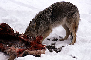 Carrion - A coyote feeding on elk carrion in Yellowstone National Park's Lamar Valley during winter.