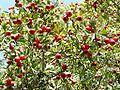 Crataegus azarolus Frucht.jpg