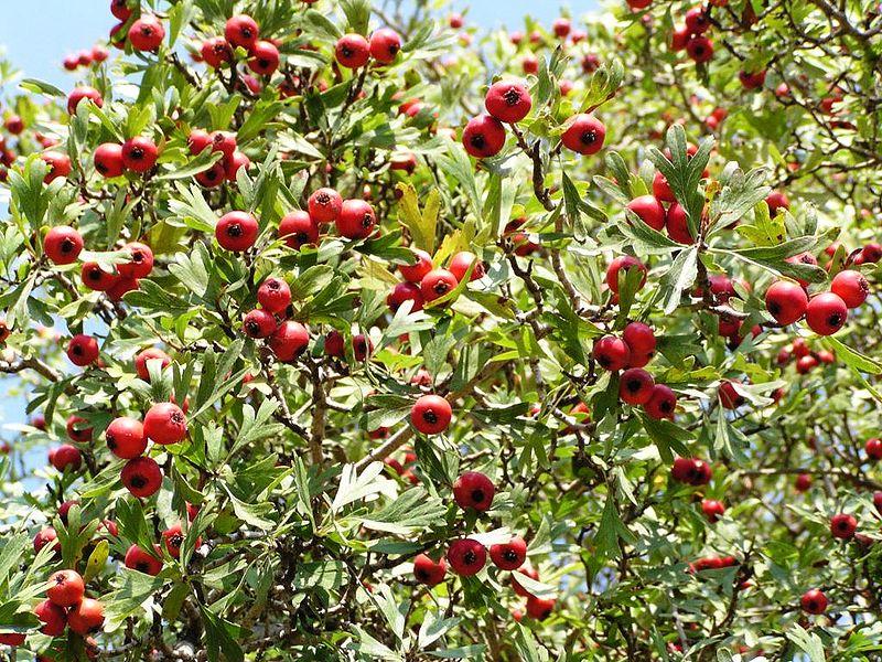File:Crataegus azarolus Frucht.jpg