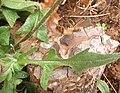 Crepis foetida leaf (04).jpg