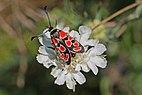 Crepuscular burnet (Zygaena carniolica).jpg