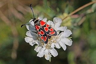 <i>Zygaena carniolica</i> Species of moth