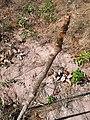 Cria de Mogno - panoramio.jpg