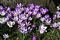 Crocuses at Trinity College, Cambridge - geograph.org.uk - 1186865.jpg
