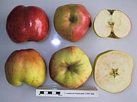 Cross section of Rambour Podolskii, National Fruit Collection (acc. 1947-460).jpg