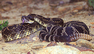 <i>Crotalus helleri</i> species of rattlesnake found in Southern California, USA and Baja, Mexico