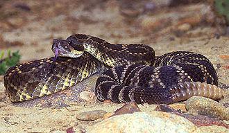Crotalus oreganus helleri - Image: Crotalus viridis helleri
