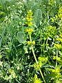 Cruciata laevipes sl12.jpg