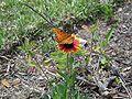 Crystal River gaillardia butterfly01.jpg