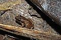 Cuban Groin-spot Frog (Eleutherodactylus atkinsi) (8571333719).jpg