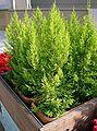 Cupressus macrocarpa Goldcrest1.jpg